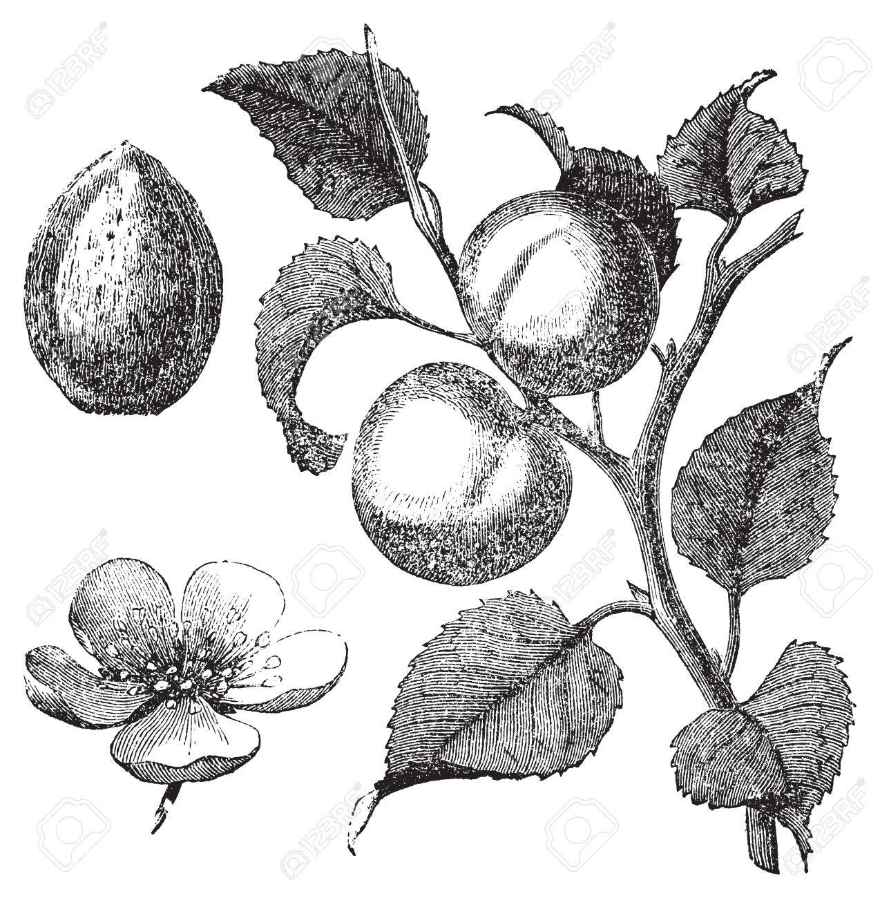 Vintage illustration of an apricot tree also showing the apricot vector vintage illustration of an apricot tree also showing the apricot kernel and flower vector live trace from a scan of an engraving from trousset thecheapjerseys Gallery