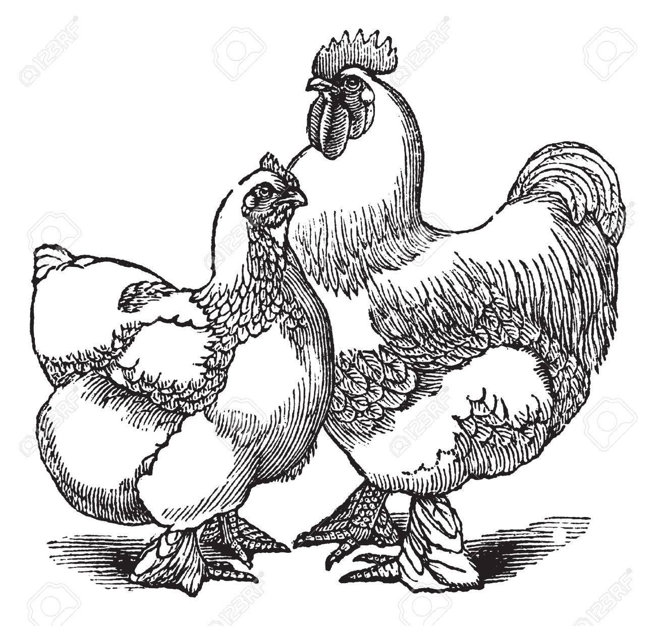鶏およびオンドリ コーチンまた...