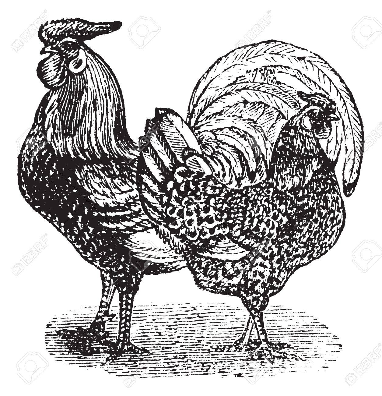 Male and female of Silver-Spangled Hamburg (chicken), vintage