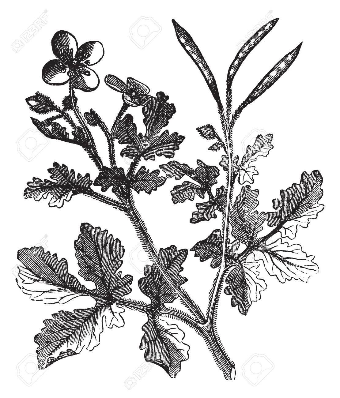 Greater Celandine or Tetterwort or Bloodroot or Chelidonium majus,