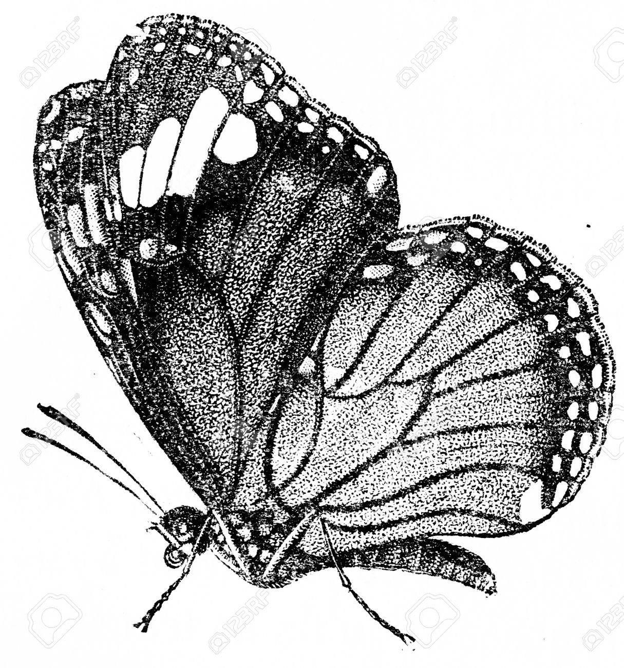 Danaida plexippus, vintage engraved illustration. Natural History of Animals, 1880. - 40102562