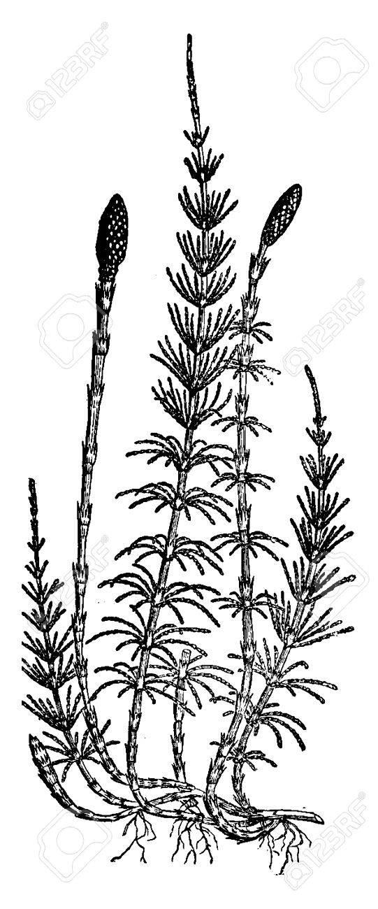 Equisetum sylvaticum (horsetail), vintage engraved illustration. Earth before man – 1886. - 41710722