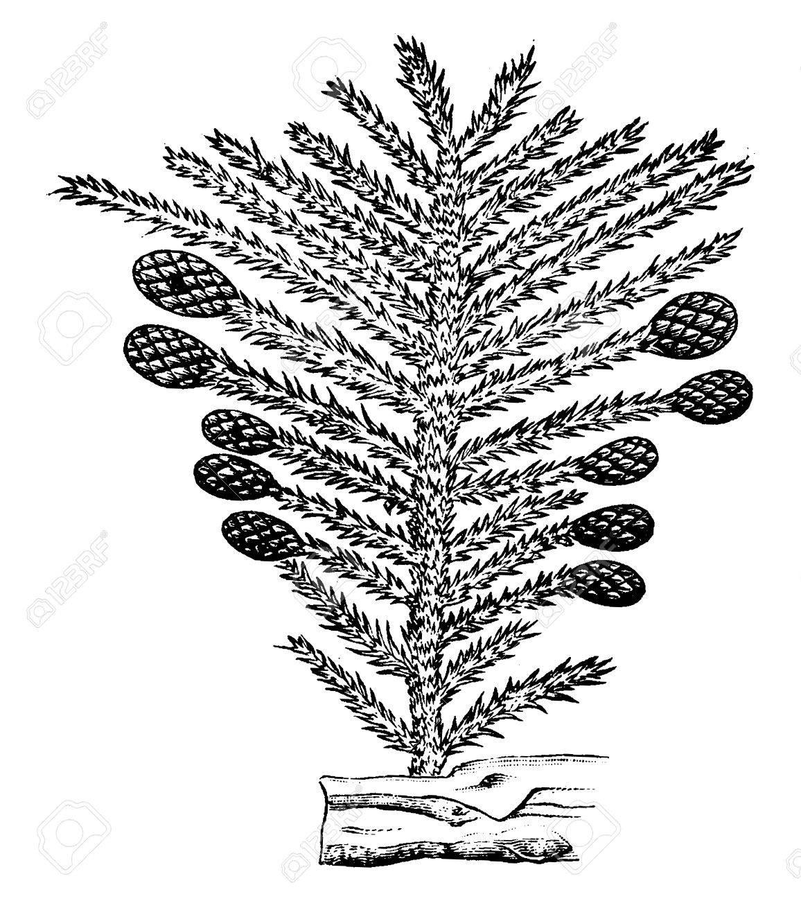 Geliebte Die Pflanzen Der Perm-Zeit, Nadelbaum, Jahrgang Gravierte @QW_87