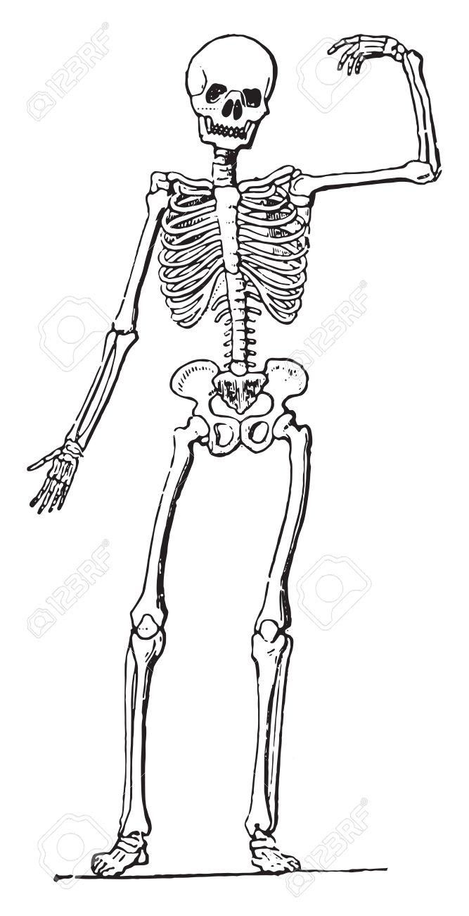 Human Anatomy (Skeleton), Vintage Engraved Illustration. Royalty ...