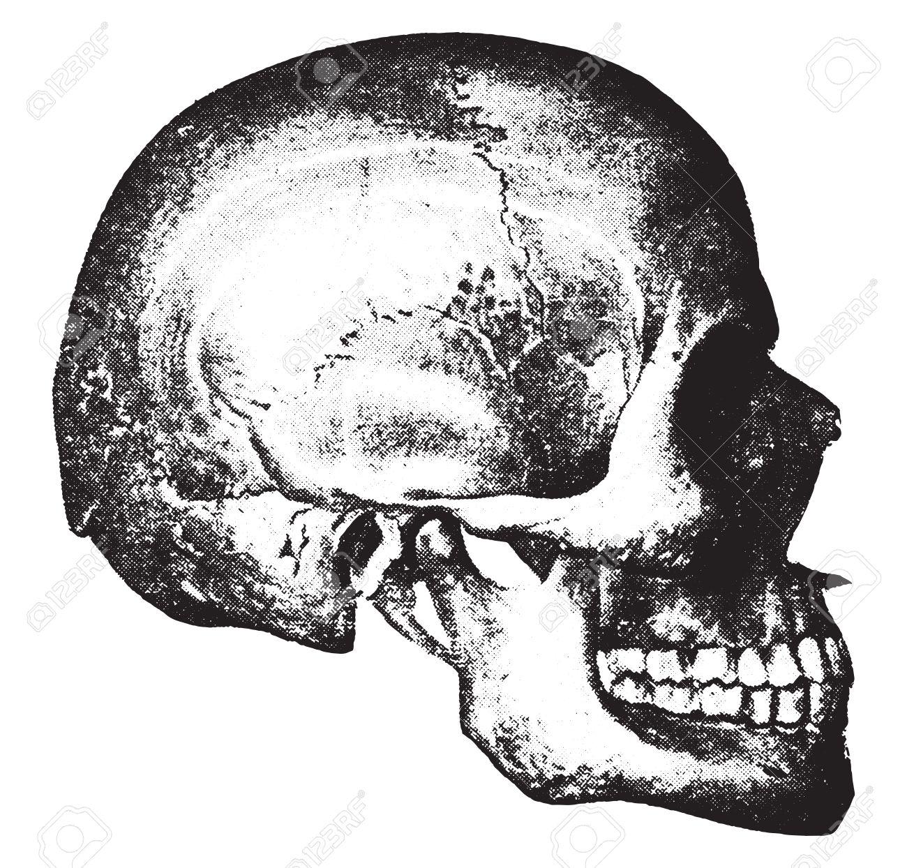 Side view of skull, vintage engraved illustration. - 41712018