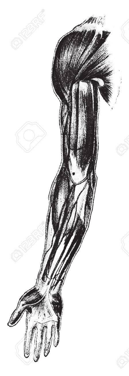 Lujo Diagrama De Músculo Del Brazo Motivo - Anatomía de Las ...