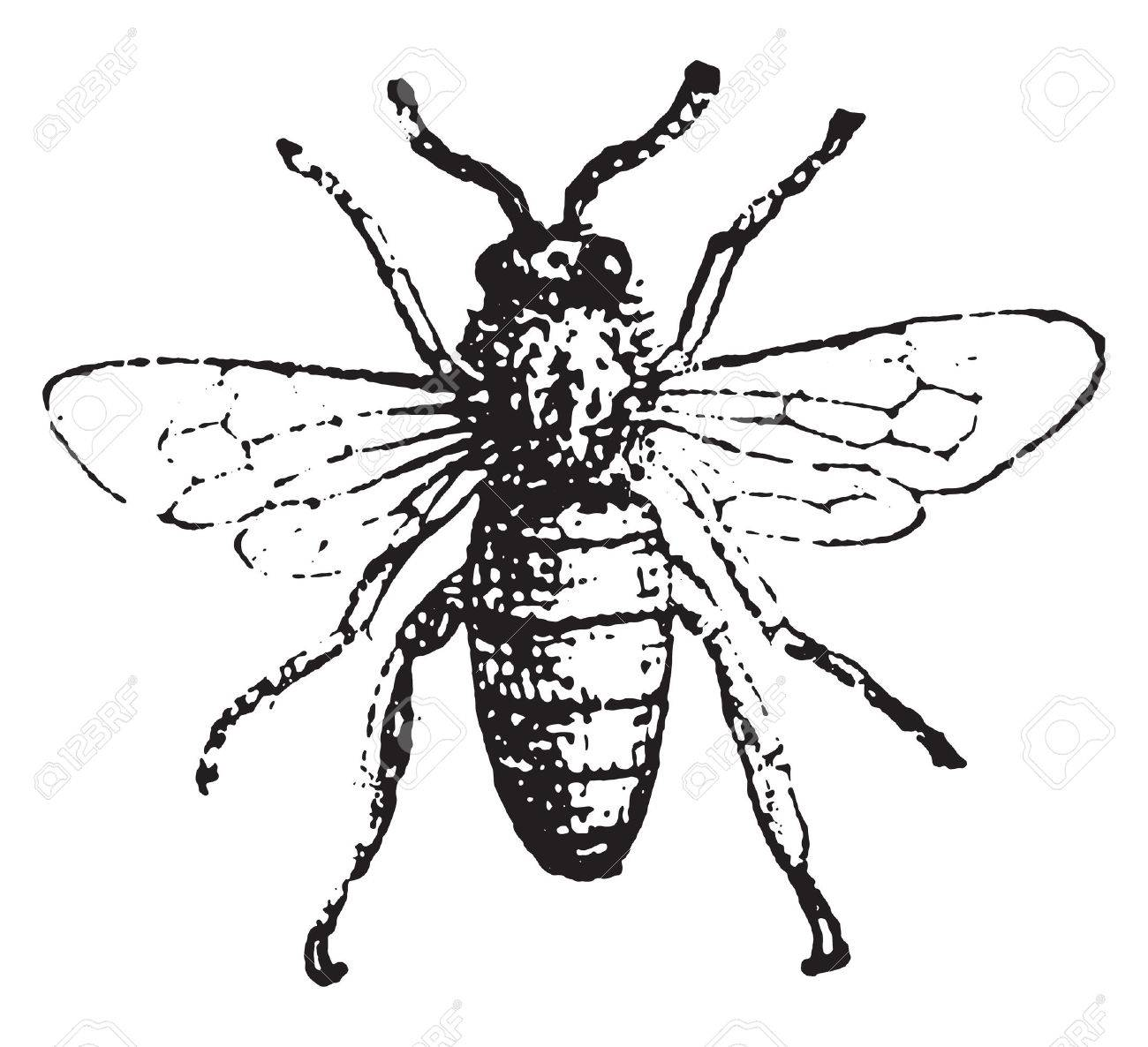 Bee, vintage engraved illustration. Dictionary of words and things - Larive and Fleury - 1895. - 41712949