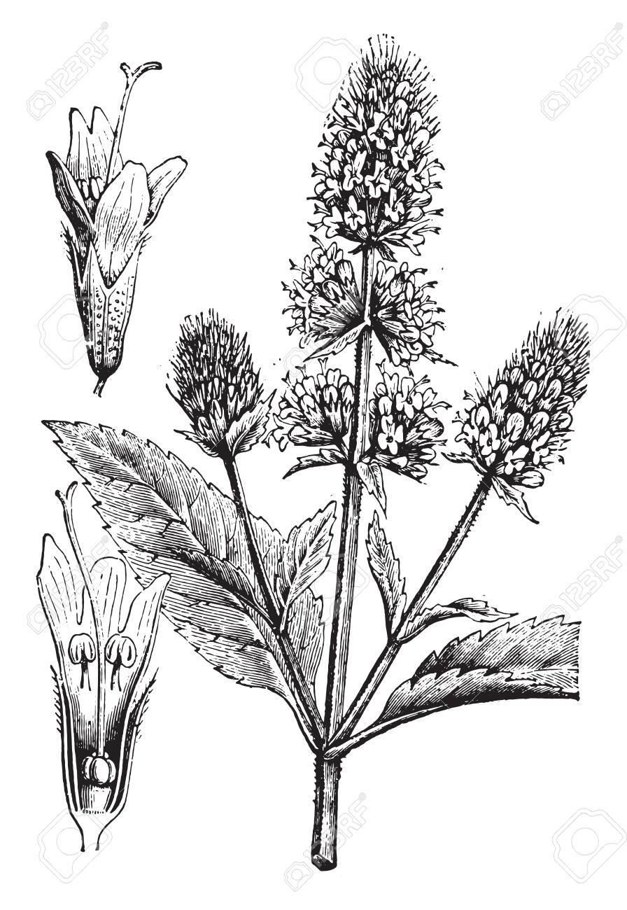 Peppermint, vintage engraved illustration. La Vie dans la nature, 1890. - 41784699