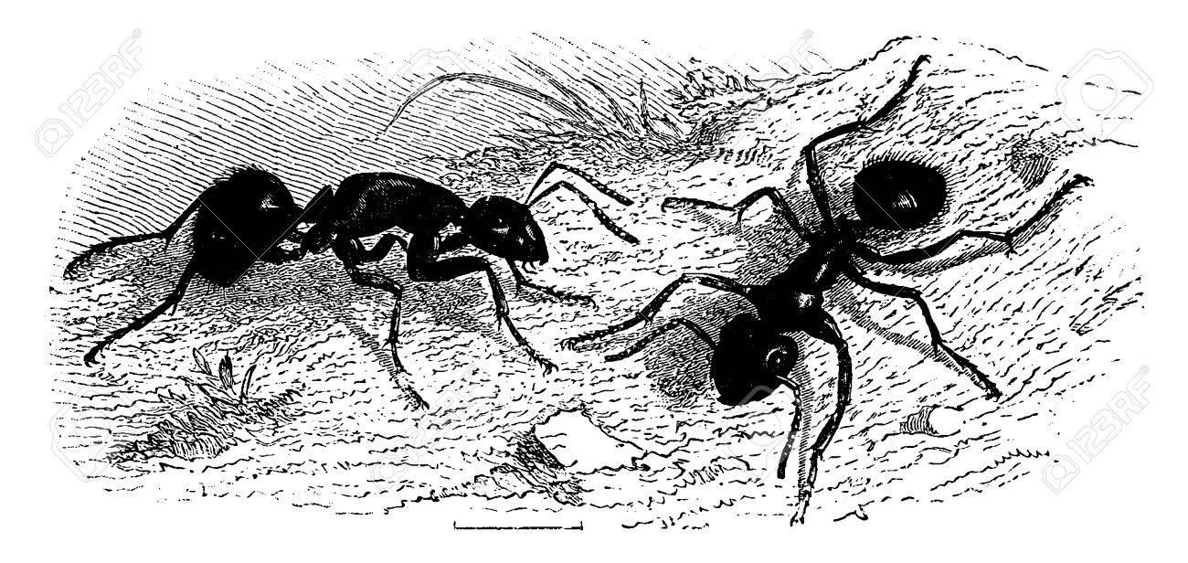 Ants (very large), vintage engraved illustration. La Vie dans la nature, 1890. - 41784786