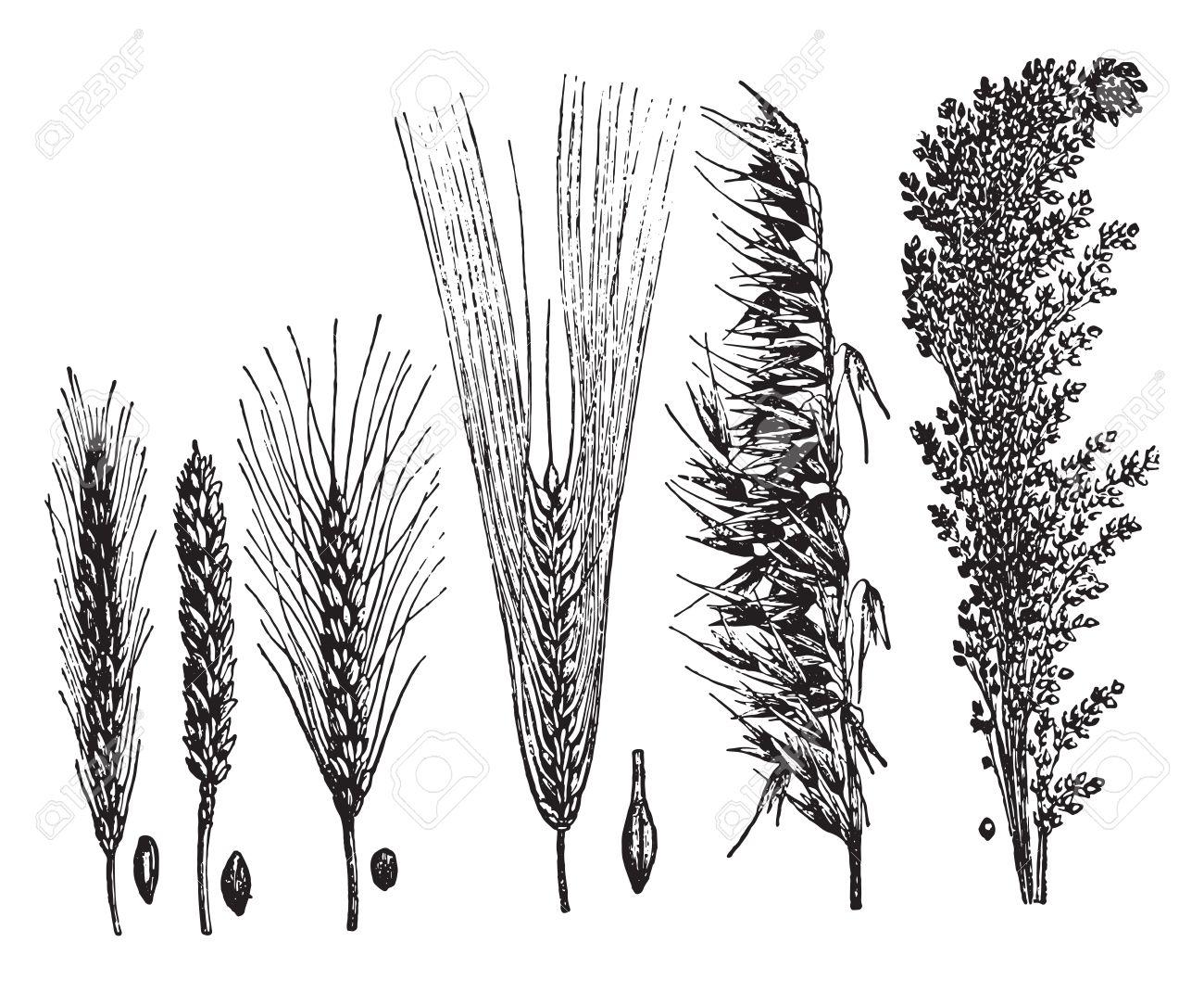 Cereals, vintage engraved illustration. La Vie dans la nature, 1890. - 41784799