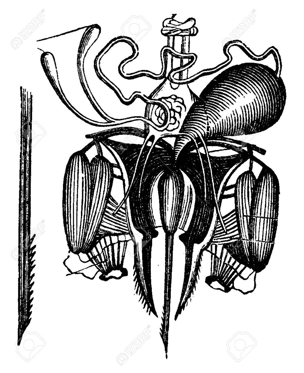 Sting Der Biene Mit Ihren Giftdrüsen Seziert, Jahrgang Gravierte ...