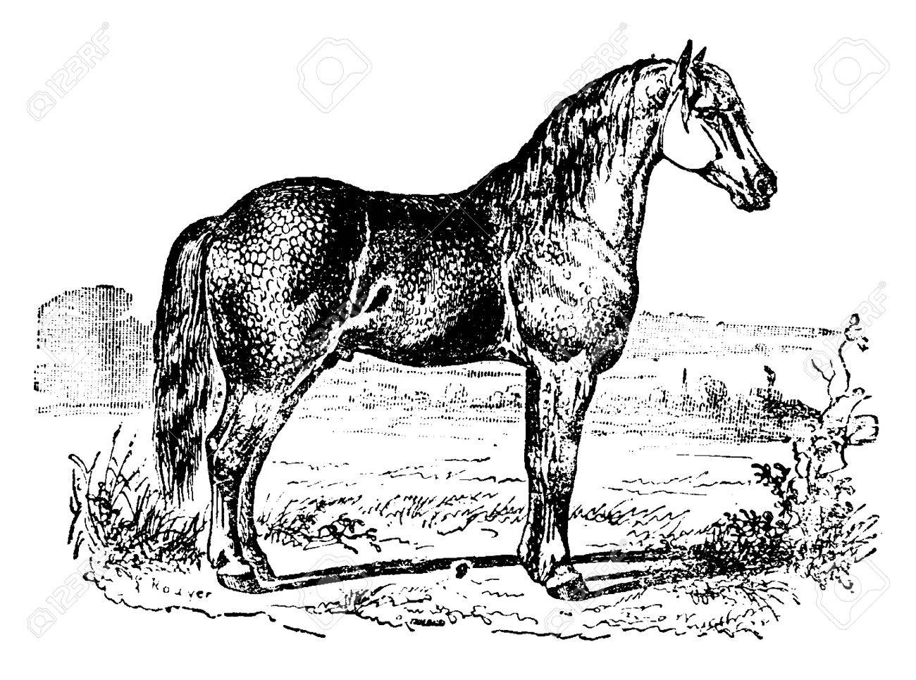 Horse Vintage Engraved Illustration Natural History Of Animals Royalty Free Cliparts Vectors And Stock Illustration Image 41788831