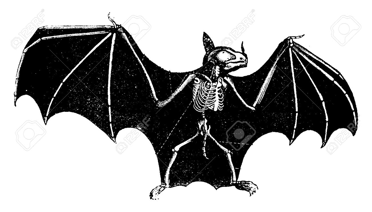 skeleton bat vintage engraved illustration natural history