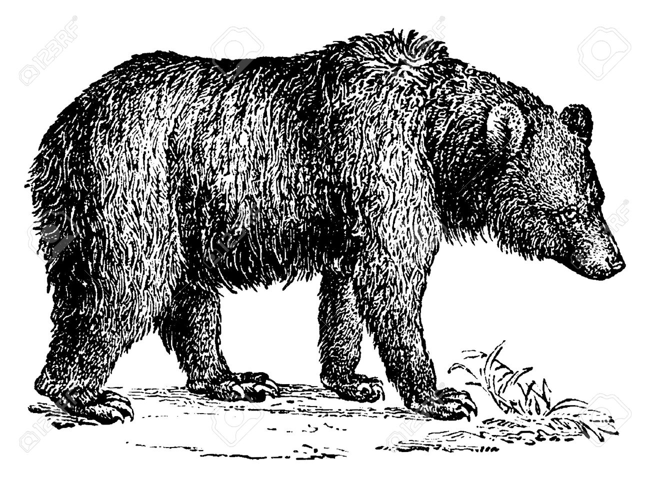 Brown bear, vintage engraved illustration. Natural History of Animals, 1880. - 41776618