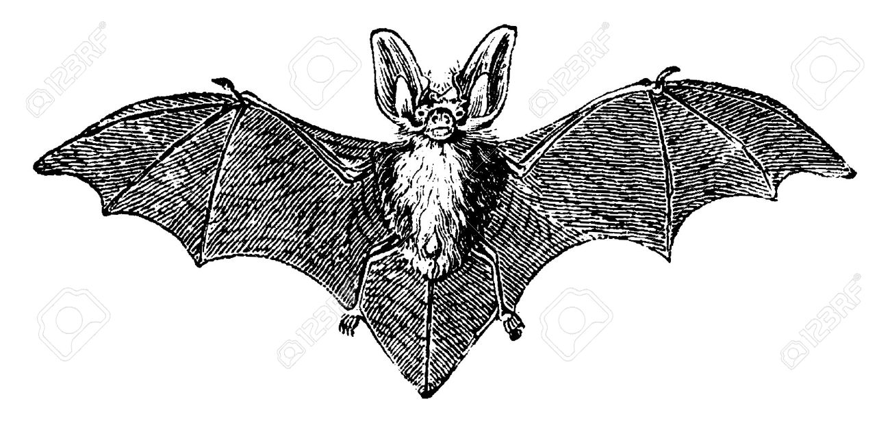 Grey long-eared bat, vintage engraved illustration. Natural History of Animals, 1880. - 41789316