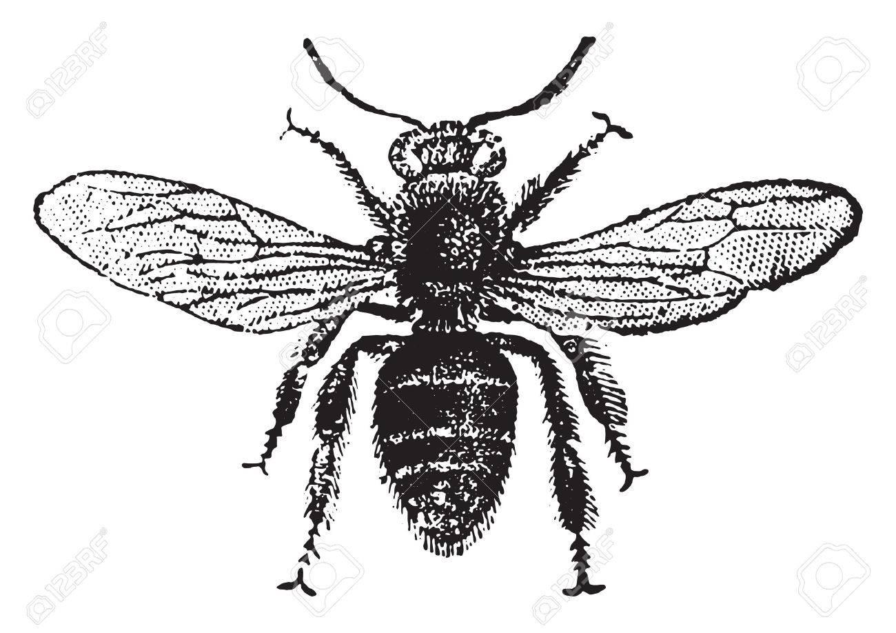 Worker bee, vintage engraved illustration. Natural History of Animals, 1880. - 41789904