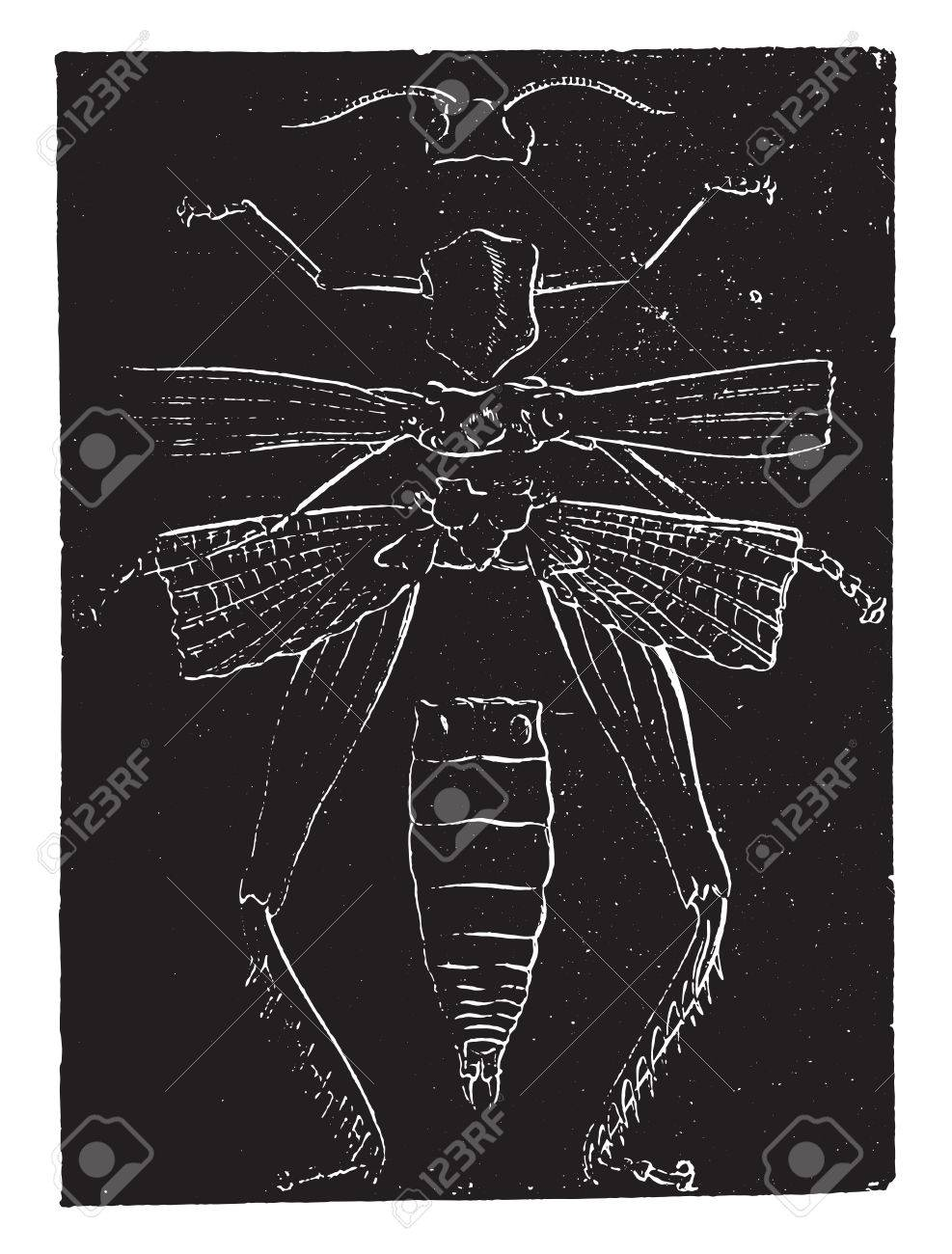 Anatomía Del Esqueleto De Un Saltamontes, Ilustración De La Vendimia ...