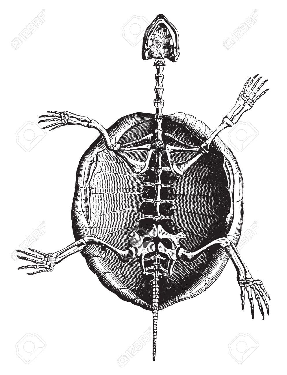 Esqueleto De La Tortuga, Ilustración De La Vendimia Grabado ...