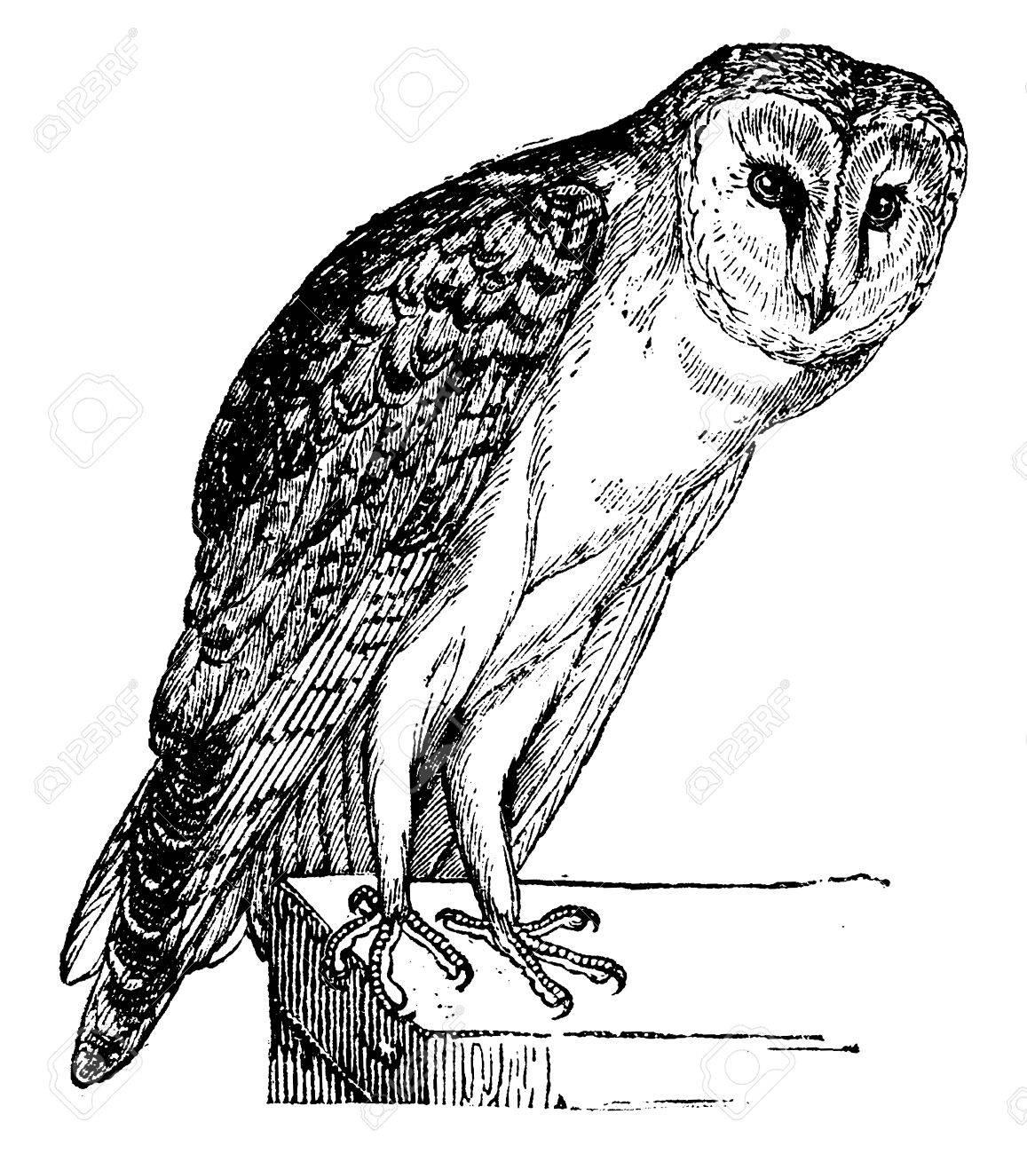 Owl, vintage engraved illustration. Natural History of Animals, 1880. - 41790419