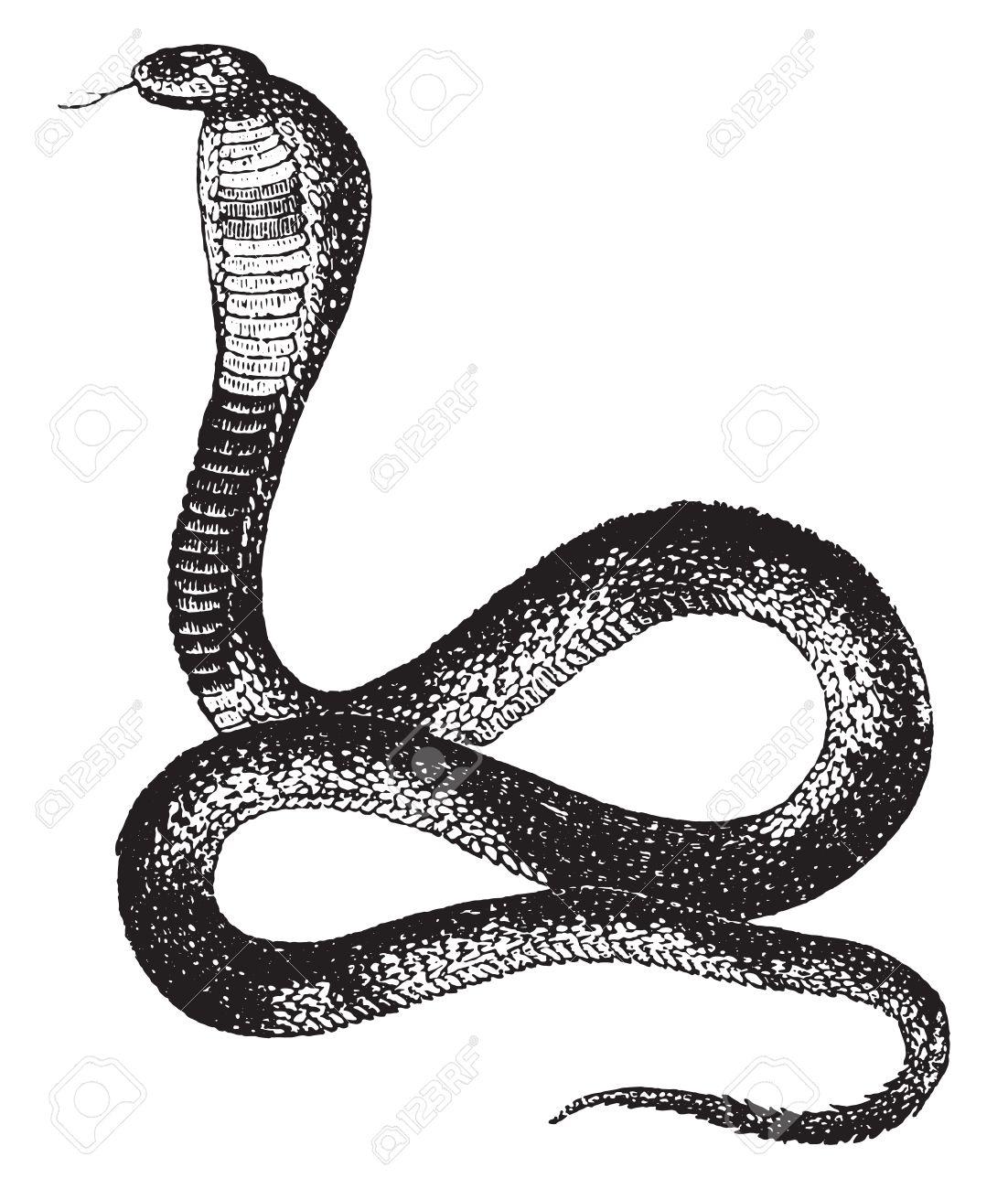 Naja or cobra, vintage engraved illustration. Natural History of Animals, 1880. - 41790464