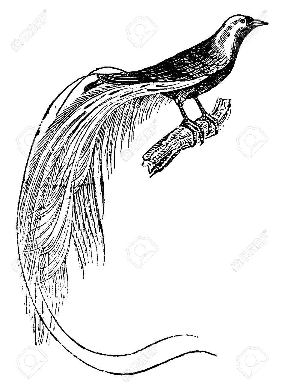 bird of paradise vintage engraved illustration natural history