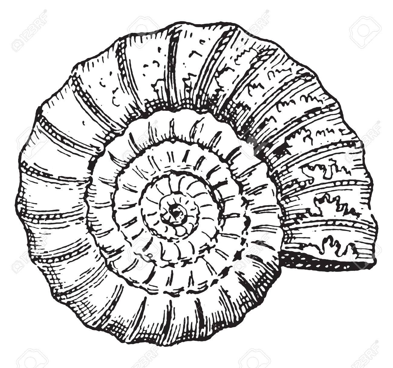 Ammonite, vintage engraved illustration. Dictionary of words and things - Larive and Fleury - 1895. - 42027872