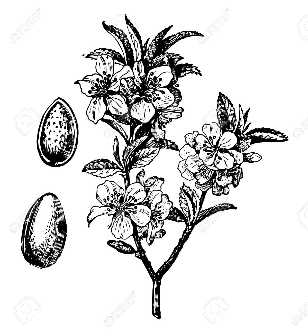 In This Image The Branch Blossom And Fruit Are The Almond Tree Royalty Free Cliparts Vectors And Stock Illustration Image 132803975