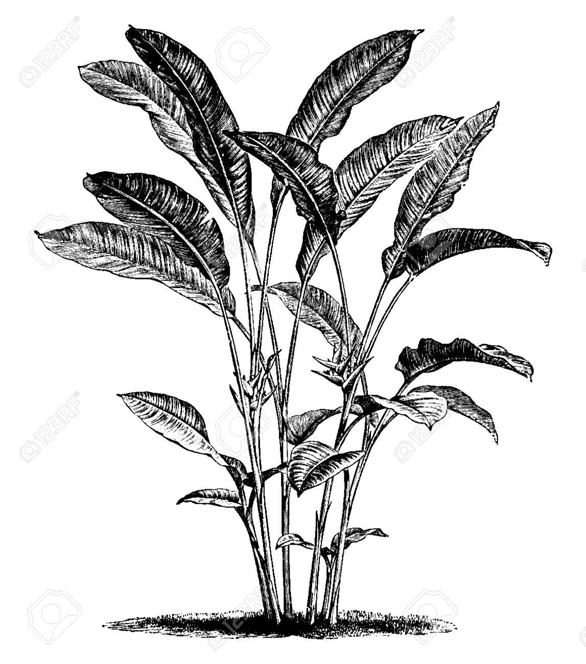 Heliconia bihai of the Heliconiaceae family is an erect herb typically growing taller than 1.5 m. the flower are red and orange, vintage line drawing or engraving illustration. - 133247273