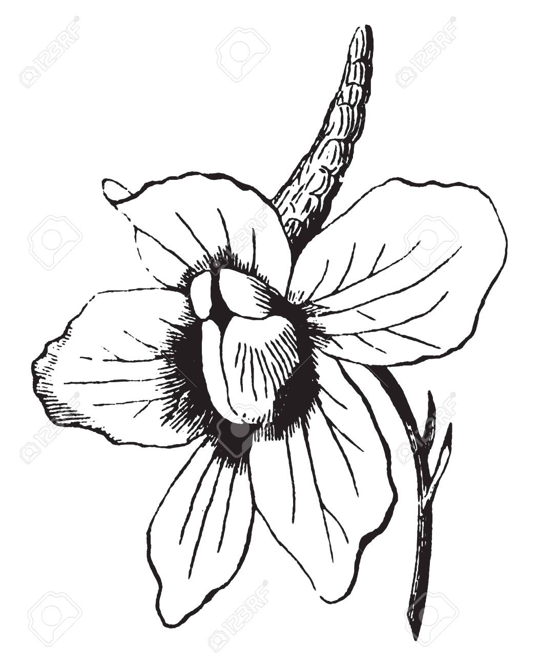 This Showing Flower Has Five Petals Stem Support To Single Flower Royalty Free Cliparts Vectors And Stock Illustration Image 132854111