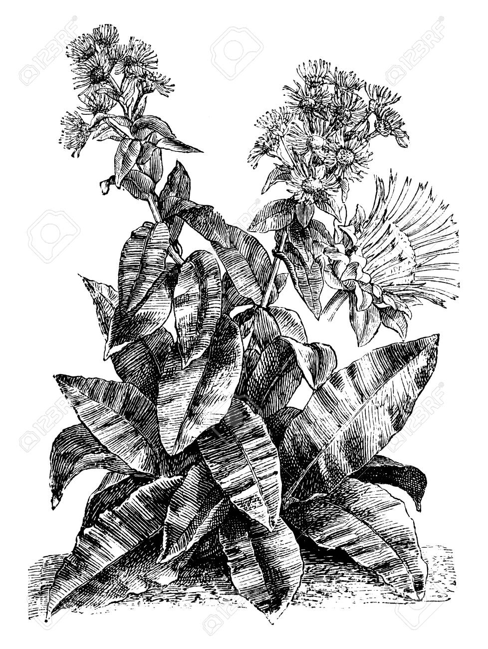 A plant of the American genus Helenium, up to 1.6 m (5 ft) tall, some species of which are grown as border plants for their daisy-like yellow or multicolored flowers, vintage line drawing or engraving illustration. - 132872689