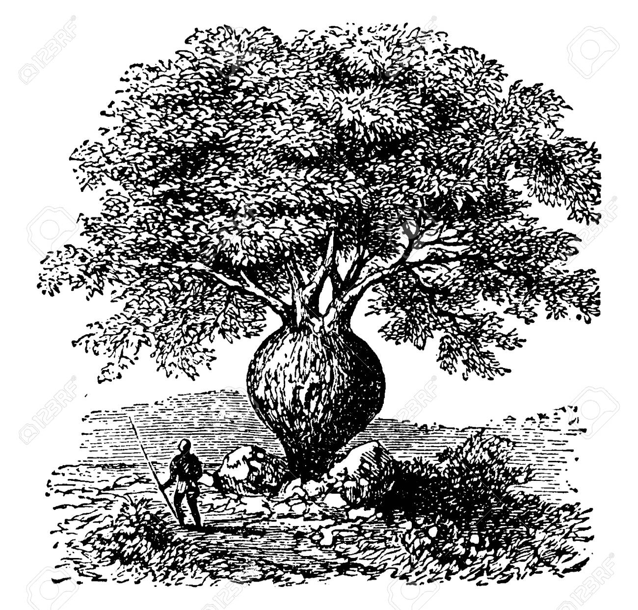 A tree having swollen bottle shaped trunk containing water, vintage line drawing or engraving illustration. - 133062598