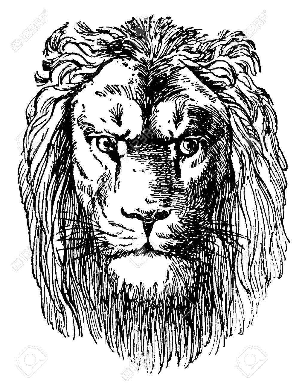 Lion Head Is A Prospectus Of Dr Schubert S Naturgeschichte Royalty Free Cliparts Vectors And Stock Illustration Image 132978361 All the best lion face outline drawing 39+ collected on this page. https www 123rf com photo 132978361 stock vector lion head is a prospectus of dr schubert s naturgeschichte vintage line drawing or engraving illustr html