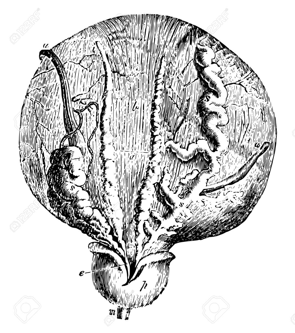 This illustration represents Bladder and Prostate Gland, vintage line drawing or engraving illustration. - 133022799