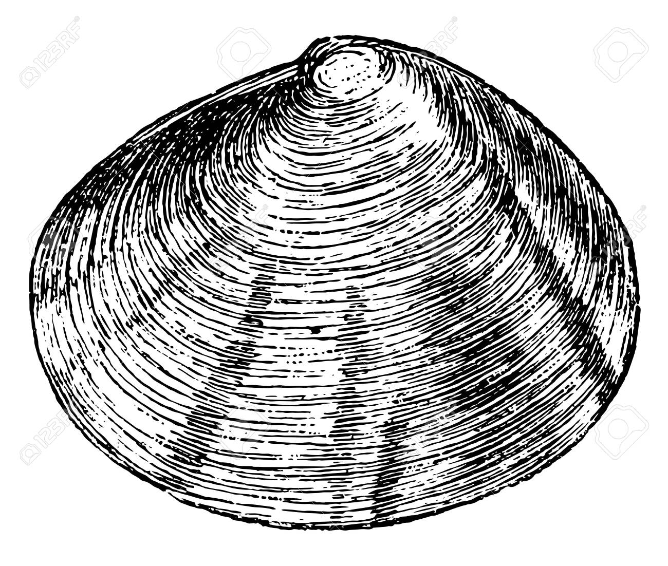 Tellina crassa is a widely distributed genus of marine bivalve molluscs, vintage line drawing or engraving illustration. - 133014601