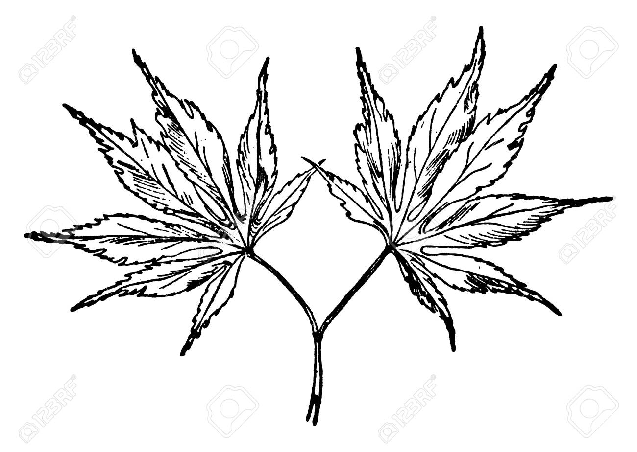 These Are Leaves Of Japanese Maple Tree It Is Species Of Woody Royalty Free Cliparts Vectors And Stock Illustration Image 133025304