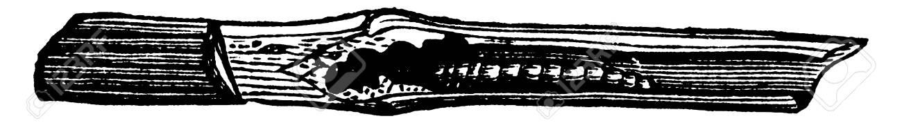 This illustration represents Clover Stem Borer, vintage line drawing or engraving illustration. - 133041154