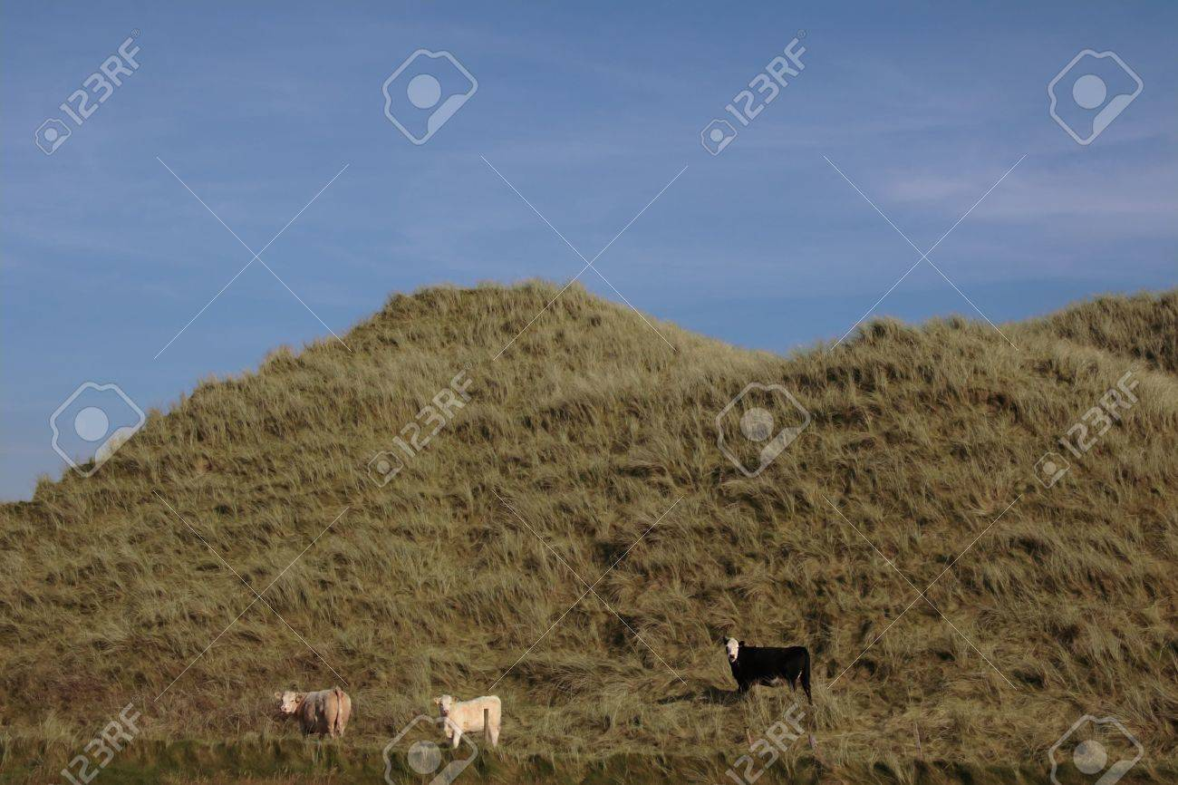 some cows on the top of some dunes in kerry ireland grazing in green pastures Stock Photo - 3007085