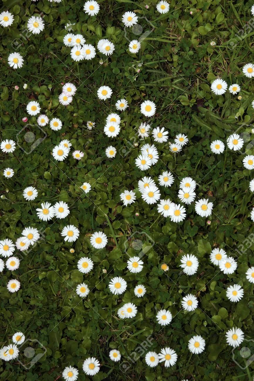 a beautiful lawn covered in an abundance of daisies Stock Photo - 3282553