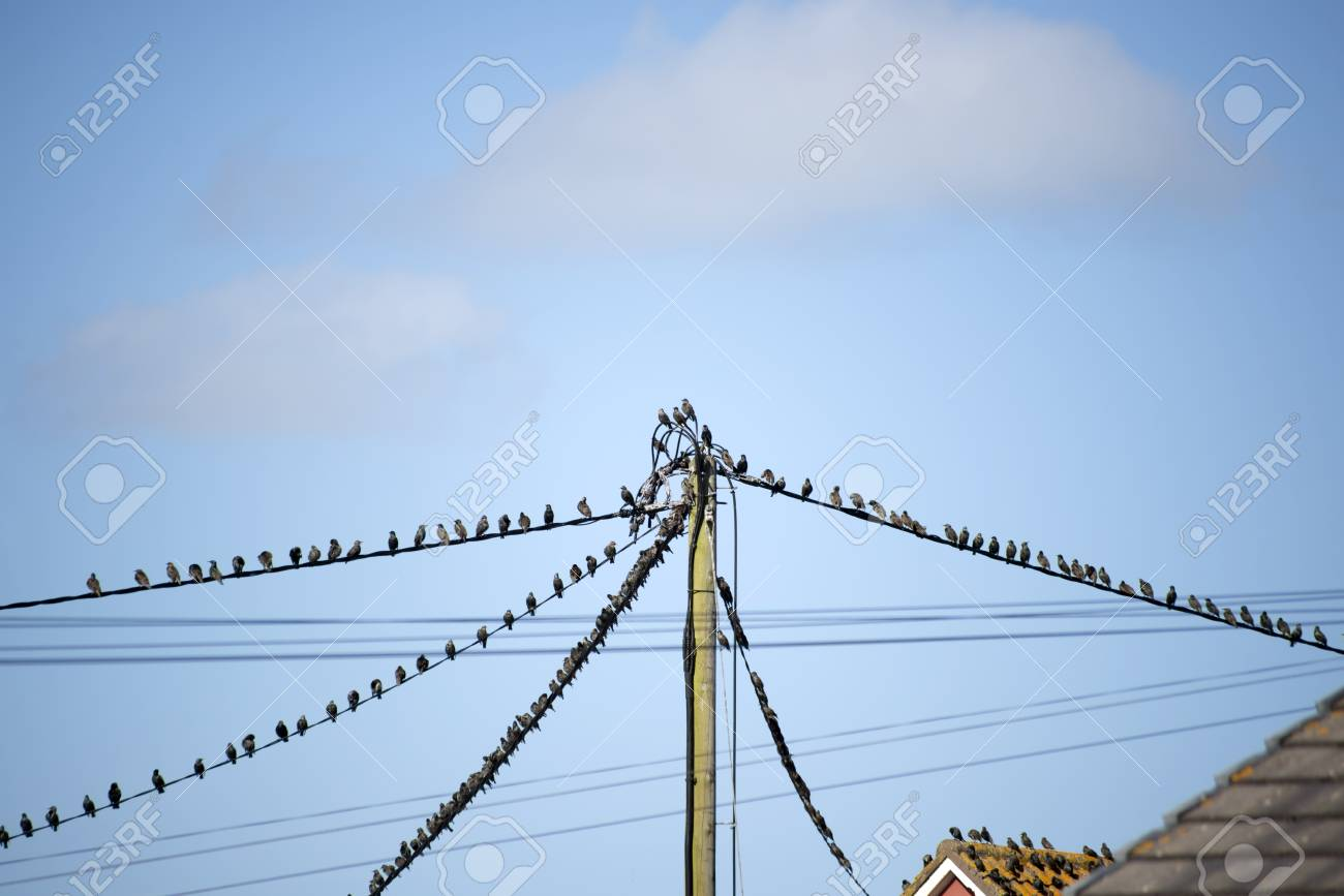 Flock Of Starling Birds On The Telephone Wires And Roofs Of Houses ...
