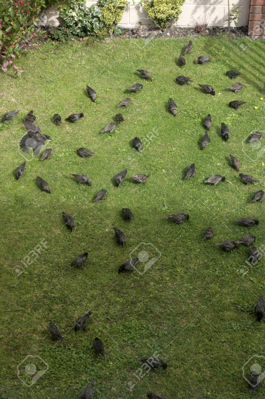Starlings Looking For Worms In A House Front Garden Lawn Stock