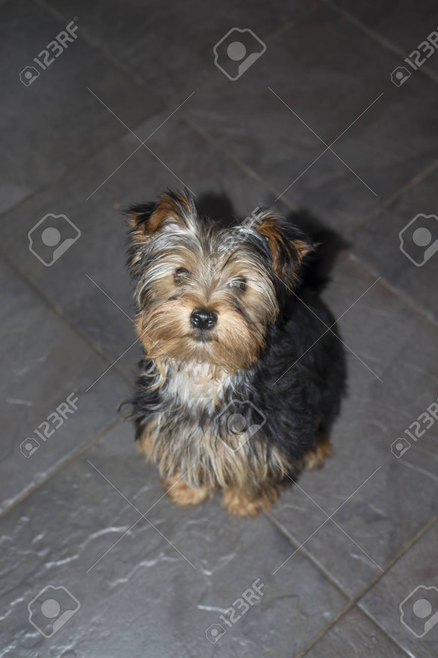Young Grey Mini Yorkie Terrier Sitting On A Slate Floor Stock Photo