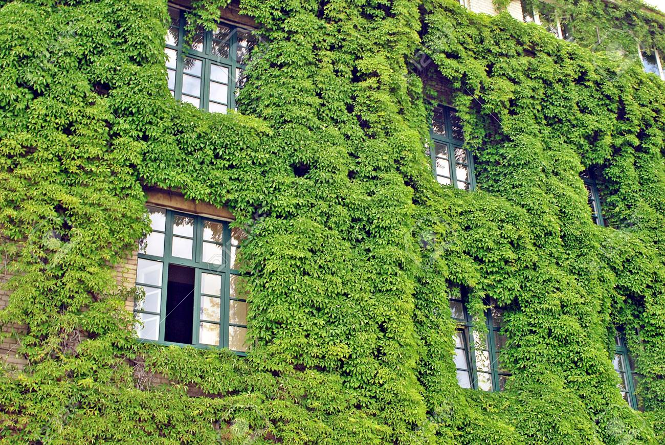 Building With Climber Plants Ivy Growing On The Wall Ecology Stock Photo Picture And Royalty Free Image Image 90001606