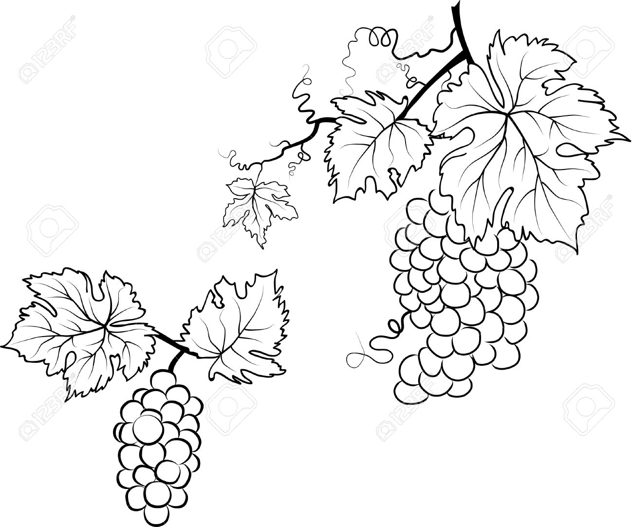 Illustration of grapes and leafs Stock Vector - 14068195