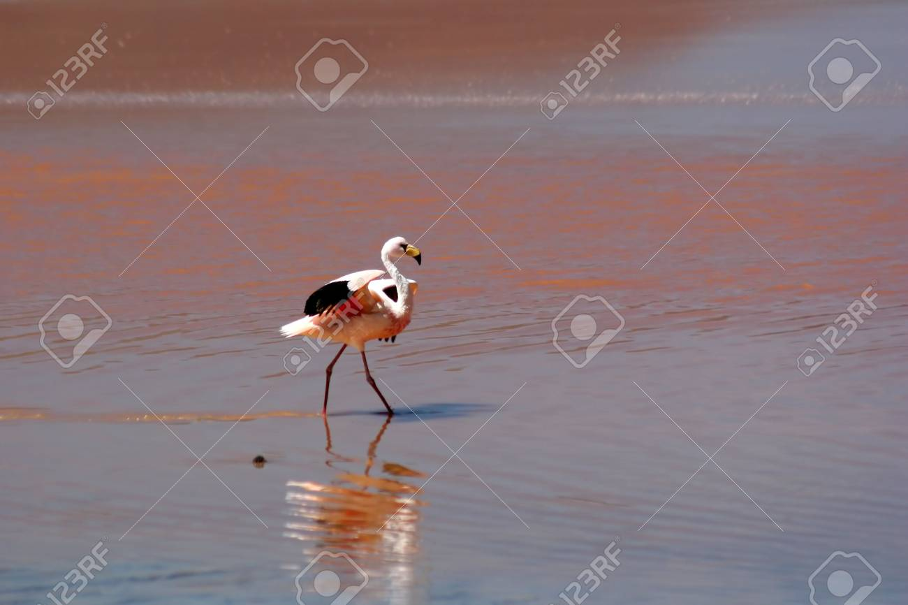 Highland Flamingo in the Red Lagoon Stock Photo - 3107579