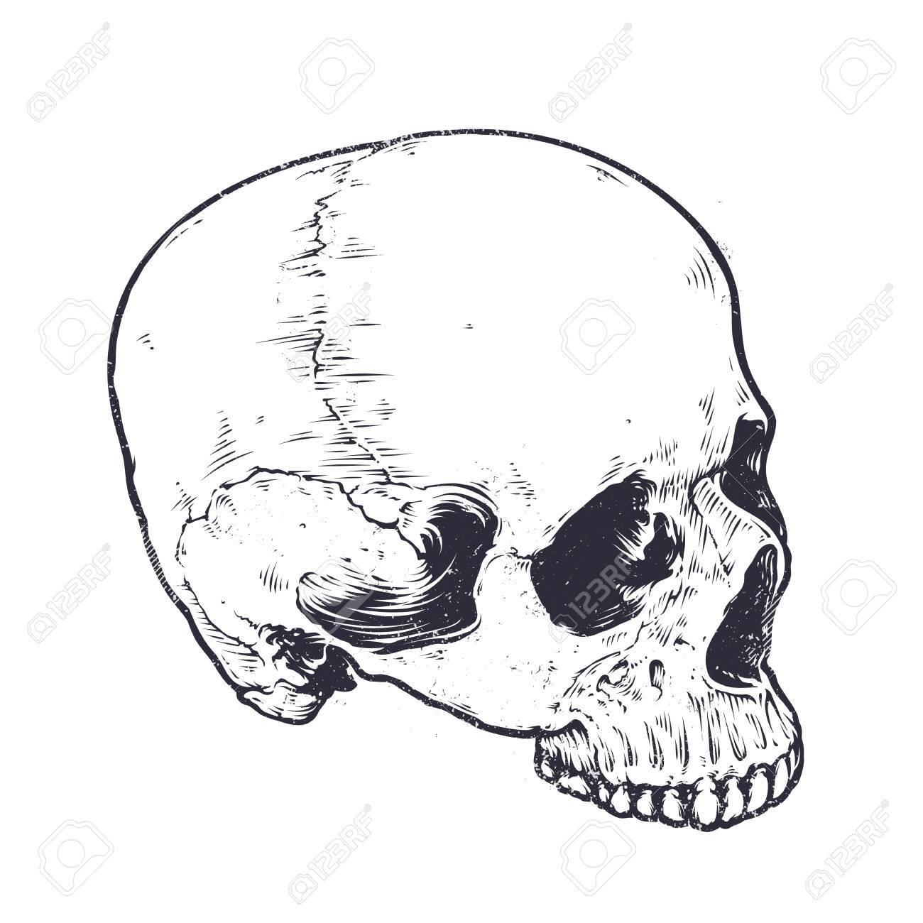 Anatómica Del Cráneo Del Vector Del Arte. Ilustración Del Cráneo ...