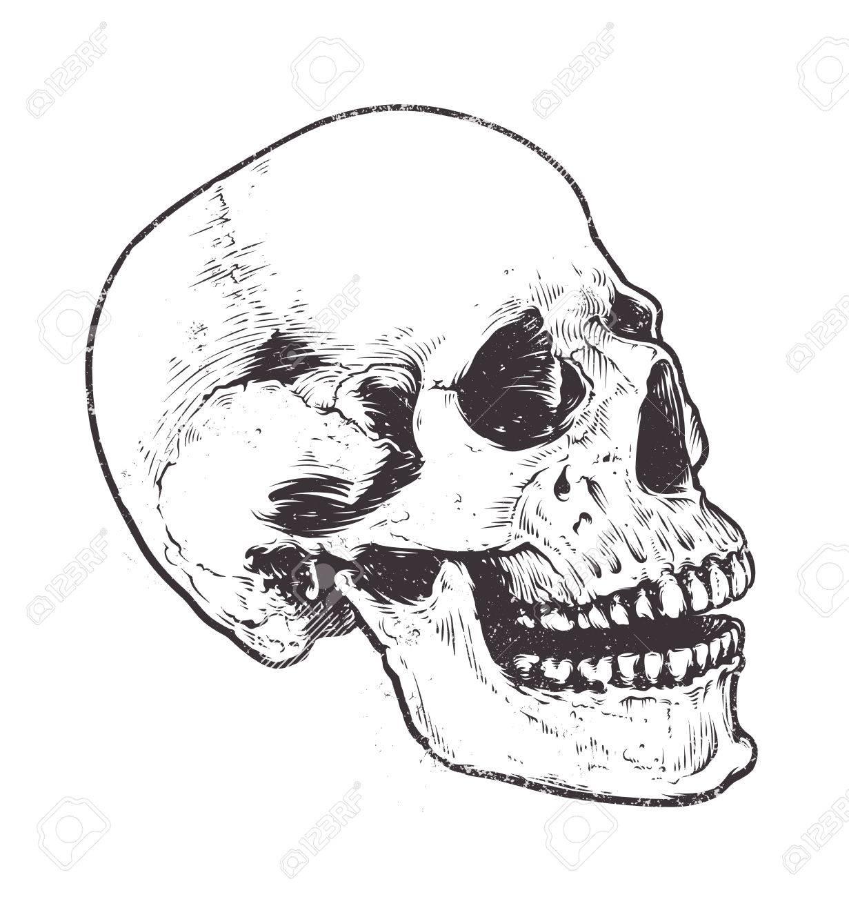 Anatomische Schädel-Vektor Art. Detaillierte Handgezeichnete ...
