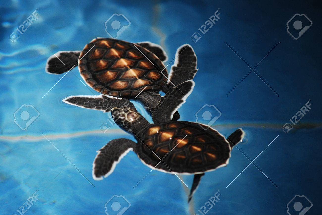 two baby sea turtles in swimming pool