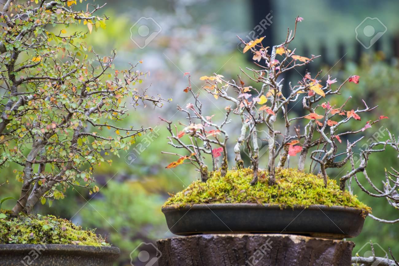 Decorazione Vasi Da Giardino : Pianta dei bonsai in un vaso da fiori per la decorazione del