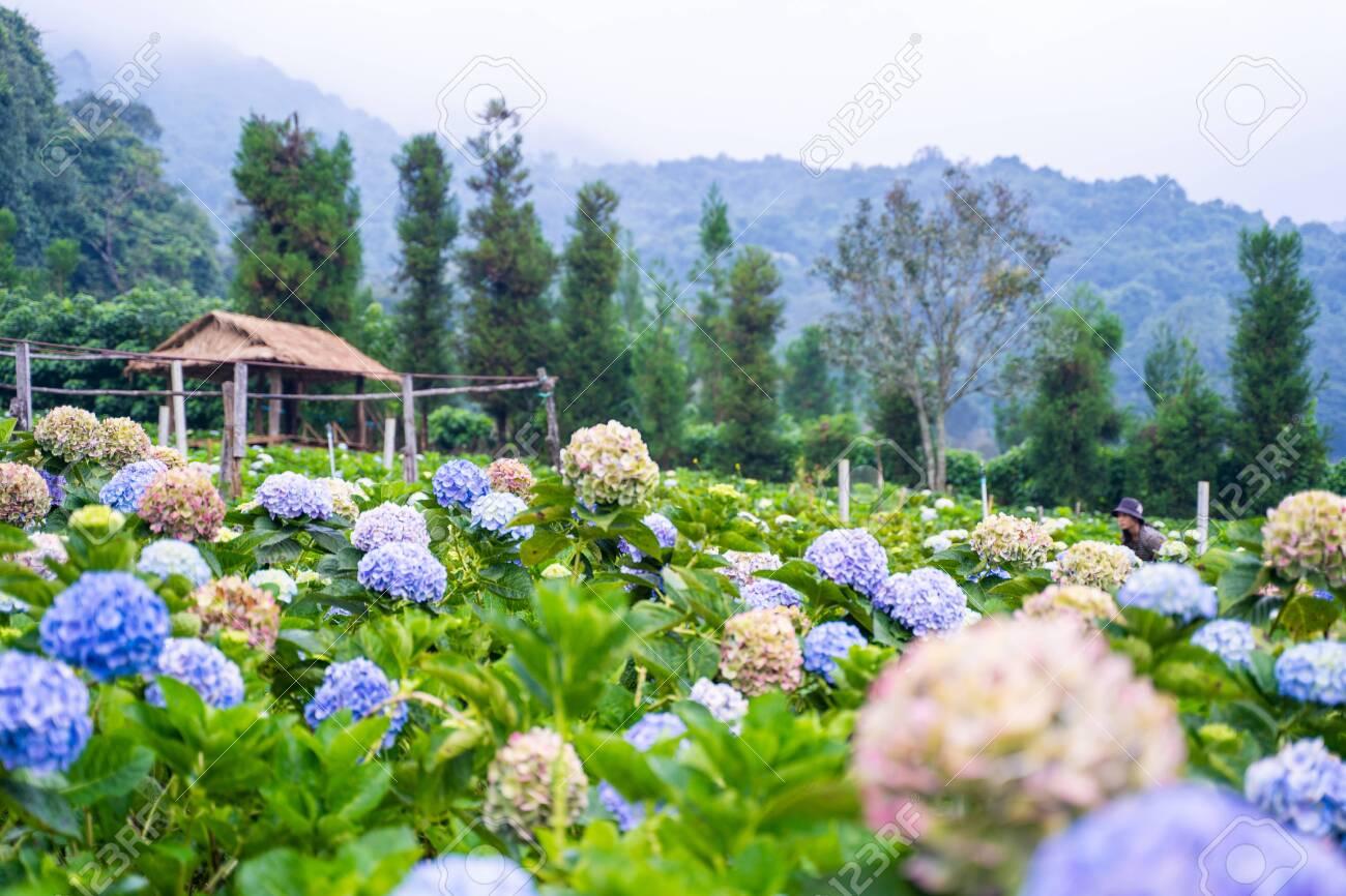 Hydrangea Flower Garden At Chiang Mai Thailand Stock Photo