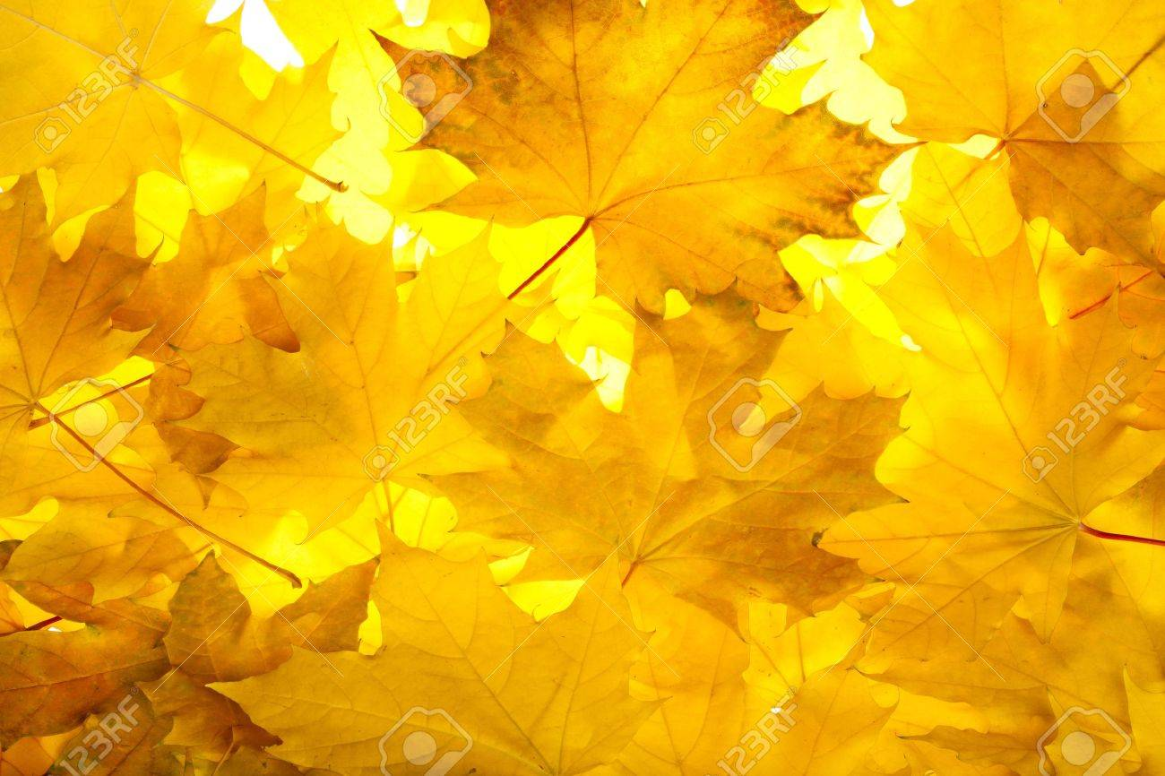 Colorful fall maple leaves Stock Photo - 11108590